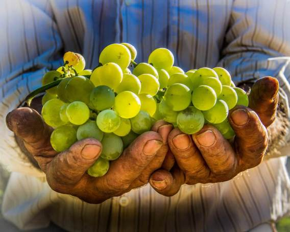 Hands and grapes