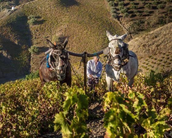 Mules plowing