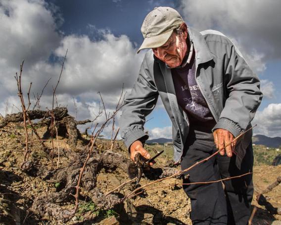 Old man pruning