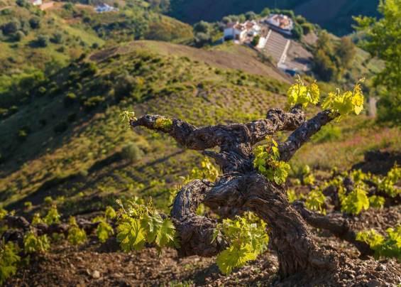 Old vineyard on slope
